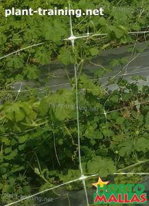 cropfield using a vertical support system with trellis net