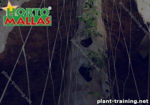 Vegetable plants and trellis netting